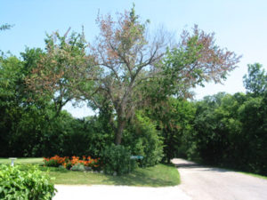 Tree with Dutch Elm Disease
