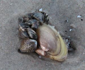 Zebra mussels at Patricia Beach in October 2015