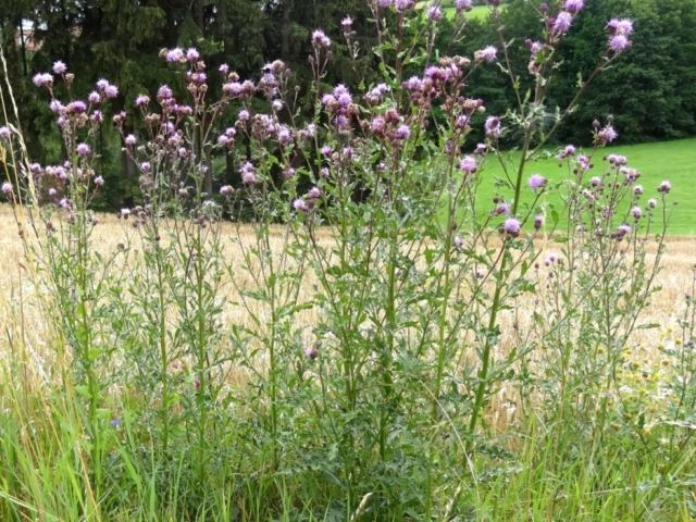 Canada Thistle (Cirsium_arvense)